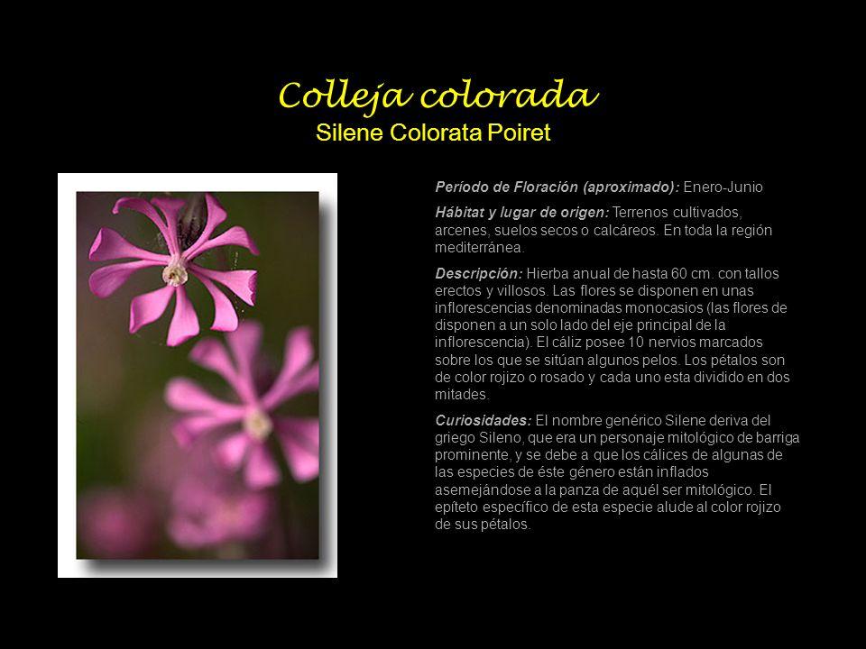 Colleja colorada Silene Colorata Poiret Período de Floración (aproximado): Enero-Junio Hábitat y lugar de origen: Terrenos cultivados, arcenes, suelos