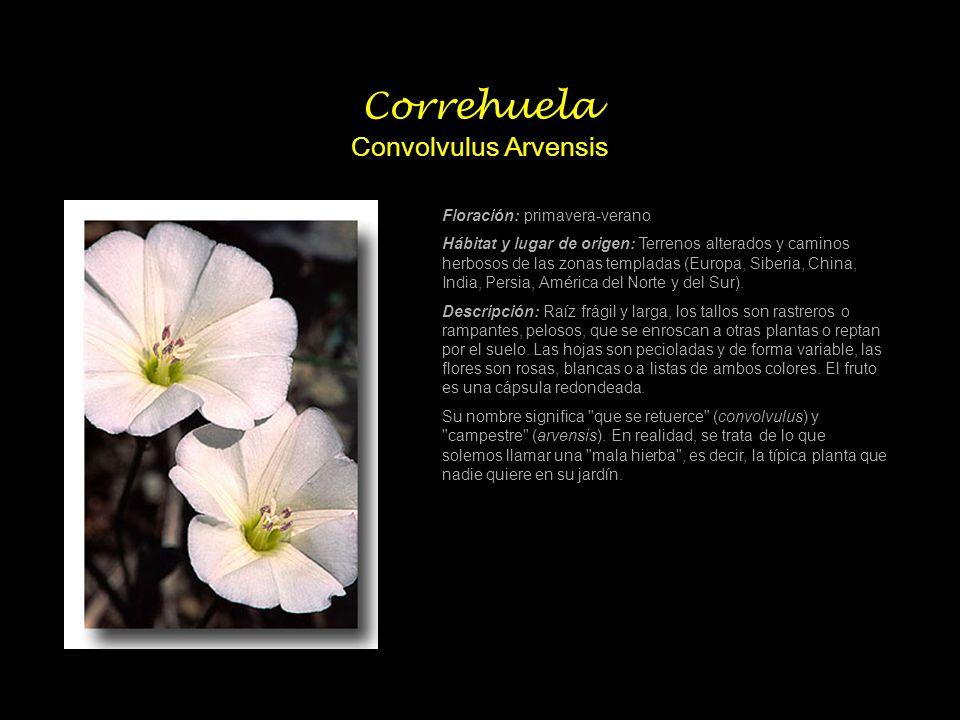 Correhuela Convolvulus Arvensis Floración: primavera-verano Hábitat y lugar de origen: Terrenos alterados y caminos herbosos de las zonas templadas (E