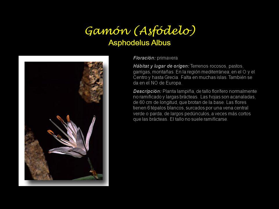 Gamón (Asfódelo) Asphodelus Albus Floración: primavera Hábitat y lugar de origen: Terrenos rocosos, pastos, garrigas, montañas. En la región mediterrá