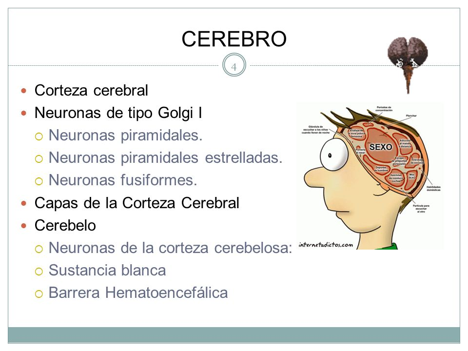 SISTEMA NERVIOSO CENTRAL Sustancia gris: Sustancia blanca Neuronas de tipo Golgi II Las células horizontales de Cajal. Las células estrelladas. Las cé