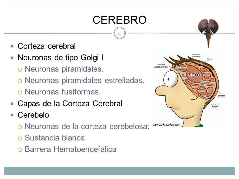 CEREBRO Corteza cerebral Neuronas de tipo Golgi I Neuronas piramidales.