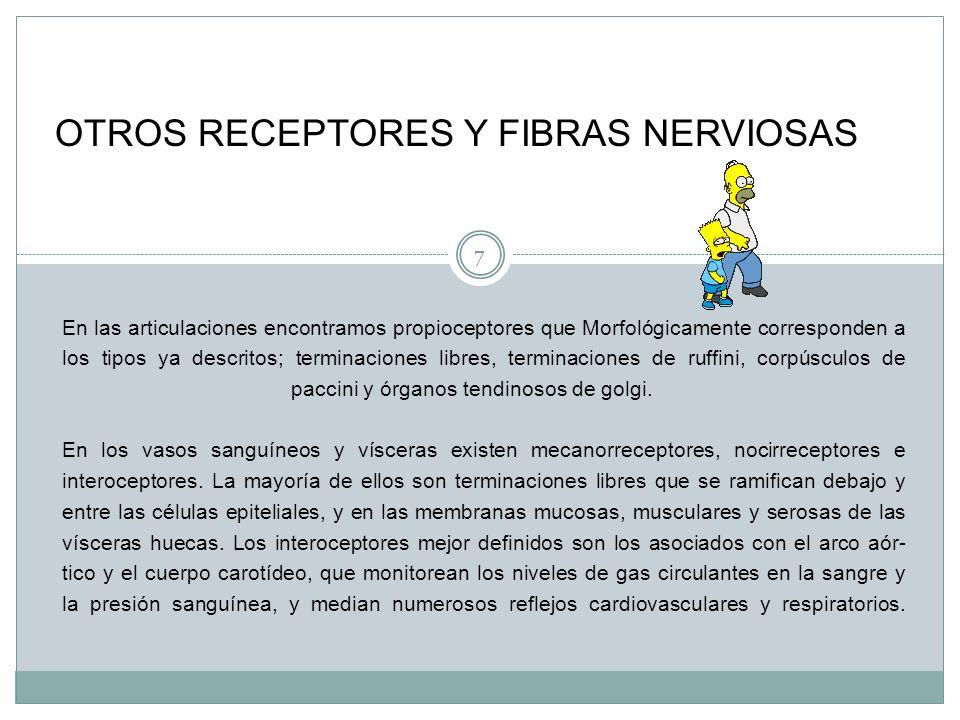 7 En las articulaciones encontramos propioceptores que Morfológicamente corresponden a los tipos ya descritos; terminaciones libres, terminaciones de ruffini, corpúsculos de paccini y órganos tendinosos de golgi.