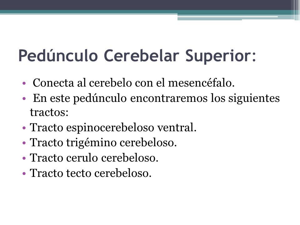 Pedúnculo Cerebelar Superior: Conecta al cerebelo con el mesencéfalo. En este pedúnculo encontraremos los siguientes tractos: Tracto espinocerebeloso