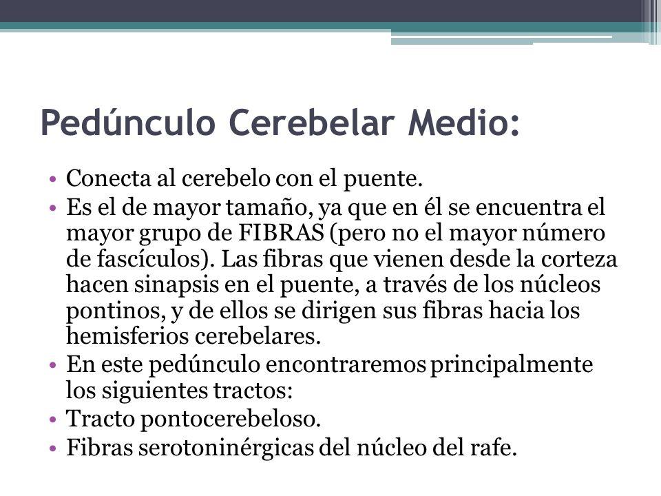 Pedúnculo Cerebelar Medio: Conecta al cerebelo con el puente. Es el de mayor tamaño, ya que en él se encuentra el mayor grupo de FIBRAS (pero no el ma