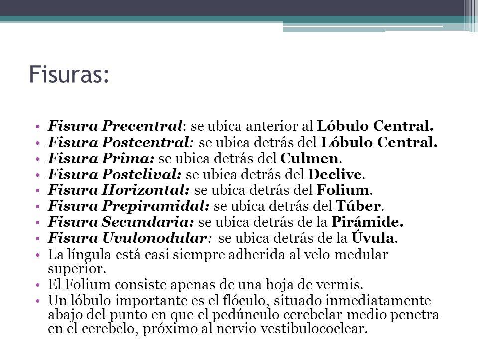 Fisuras: Fisura Precentral: se ubica anterior al Lóbulo Central. Fisura Postcentral: se ubica detrás del Lóbulo Central. Fisura Prima: se ubica detrás