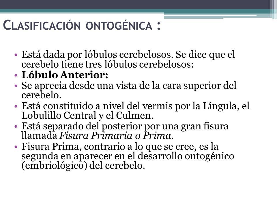 C LASIFICACIÓN ONTOGÉNICA : Está dada por lóbulos cerebelosos. Se dice que el cerebelo tiene tres lóbulos cerebelosos: Lóbulo Anterior: Se aprecia des