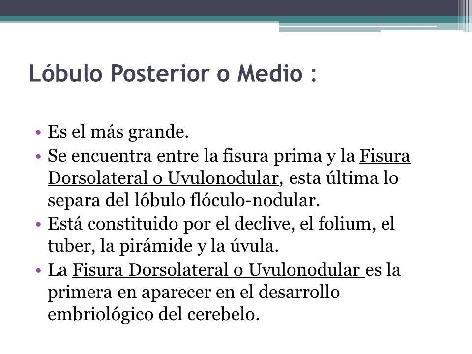 Lóbulo Posterior o Medio : Es el más grande. Se encuentra entre la fisura prima y la Fisura Dorsolateral o Uvulonodular, esta última lo separa del lób