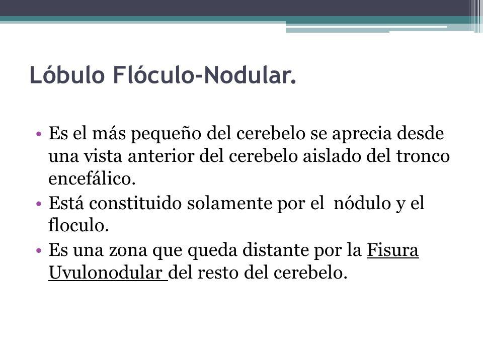Lóbulo Flóculo-Nodular. Es el más pequeño del cerebelo se aprecia desde una vista anterior del cerebelo aislado del tronco encefálico. Está constituid
