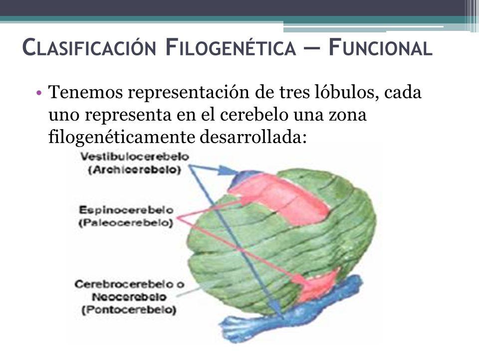 C LASIFICACIÓN F ILOGENÉTICA F UNCIONAL Tenemos representación de tres lóbulos, cada uno representa en el cerebelo una zona filogenéticamente desarrol