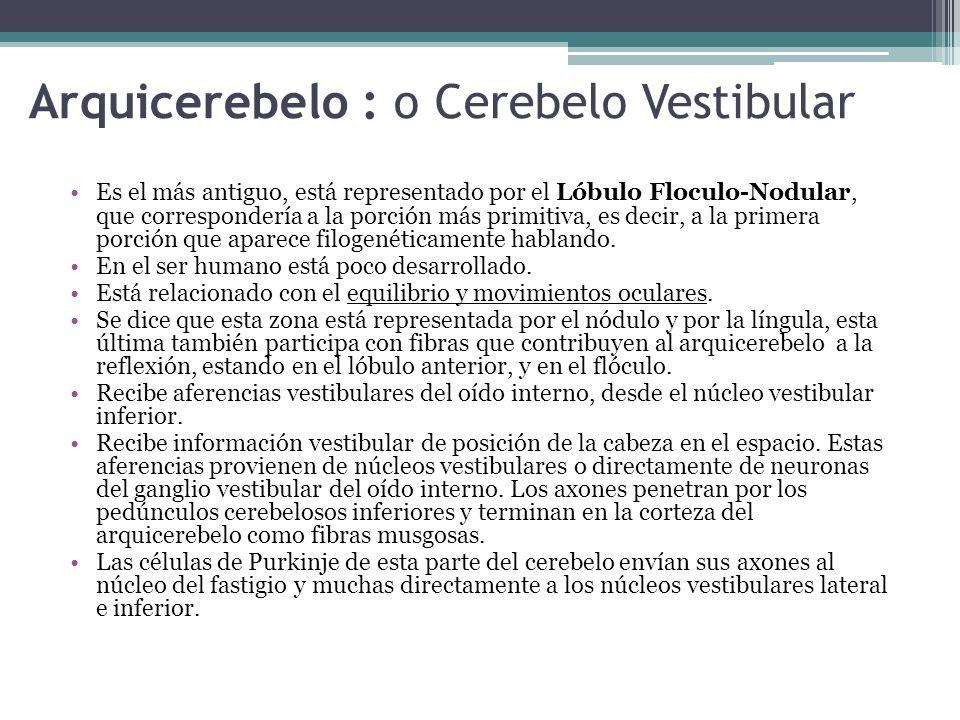 Arquicerebelo : o Cerebelo Vestibular Es el más antiguo, está representado por el Lóbulo Floculo-Nodular, que correspondería a la porción más primitiv
