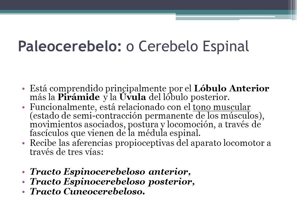 Paleocerebelo: o Cerebelo Espinal Está comprendido principalmente por el Lóbulo Anterior más la Pirámide y la Úvula del lóbulo posterior. Funcionalmen