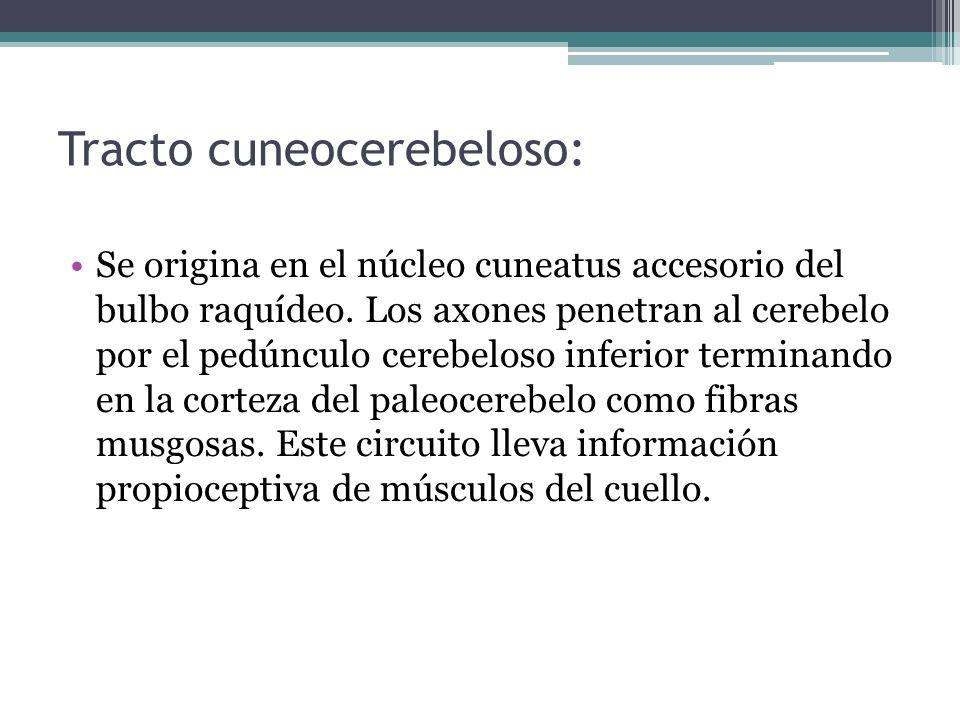 Tracto cuneocerebeloso: Se origina en el núcleo cuneatus accesorio del bulbo raquídeo. Los axones penetran al cerebelo por el pedúnculo cerebeloso inf