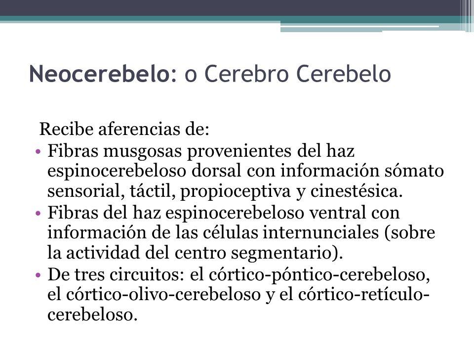 Neocerebelo: o Cerebro Cerebelo Recibe aferencias de: Fibras musgosas provenientes del haz espinocerebeloso dorsal con información sómato sensorial, t
