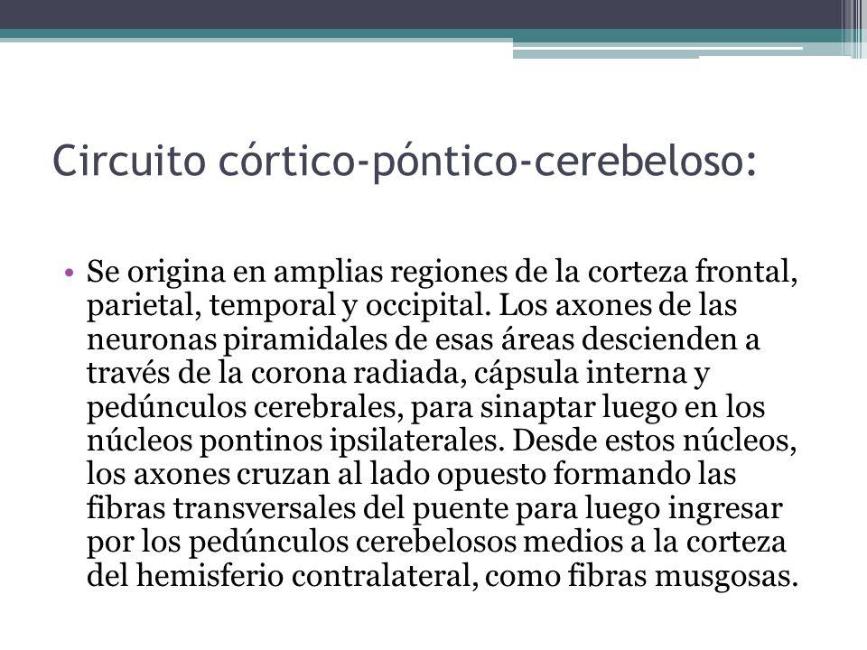 Circuito córtico-póntico-cerebeloso: Se origina en amplias regiones de la corteza frontal, parietal, temporal y occipital. Los axones de las neuronas