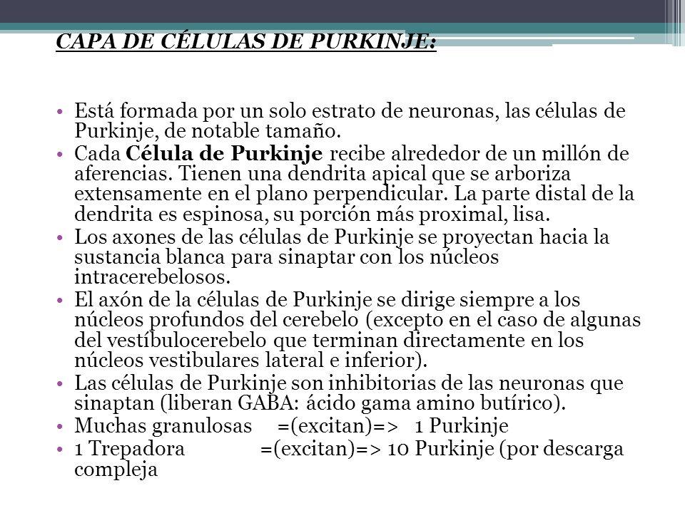 CAPA DE CÉLULAS DE PURKINJE: Está formada por un solo estrato de neuronas, las células de Purkinje, de notable tamaño. Cada Célula de Purkinje recibe