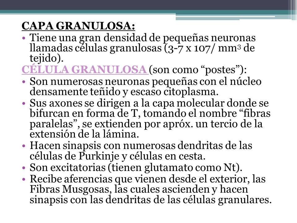 CAPA GRANULOSA: Tiene una gran densidad de pequeñas neuronas llamadas células granulosas (3-7 x 107/ mm 3 de tejido). CÉLULA GRANULOSA (son como poste