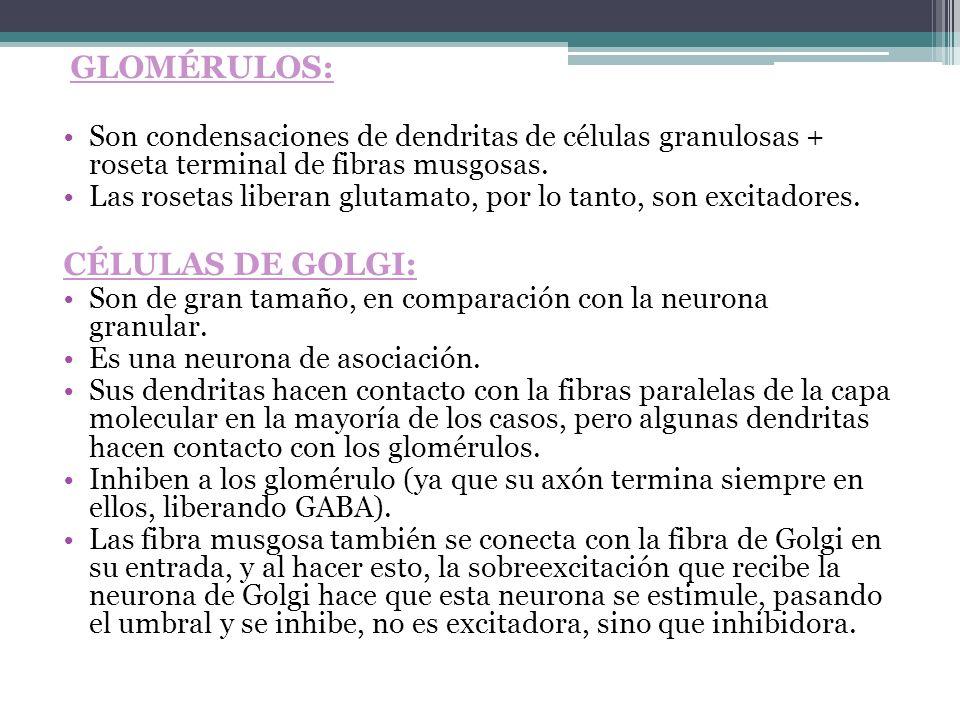 GLOMÉRULOS: Son condensaciones de dendritas de células granulosas + roseta terminal de fibras musgosas. Las rosetas liberan glutamato, por lo tanto, s