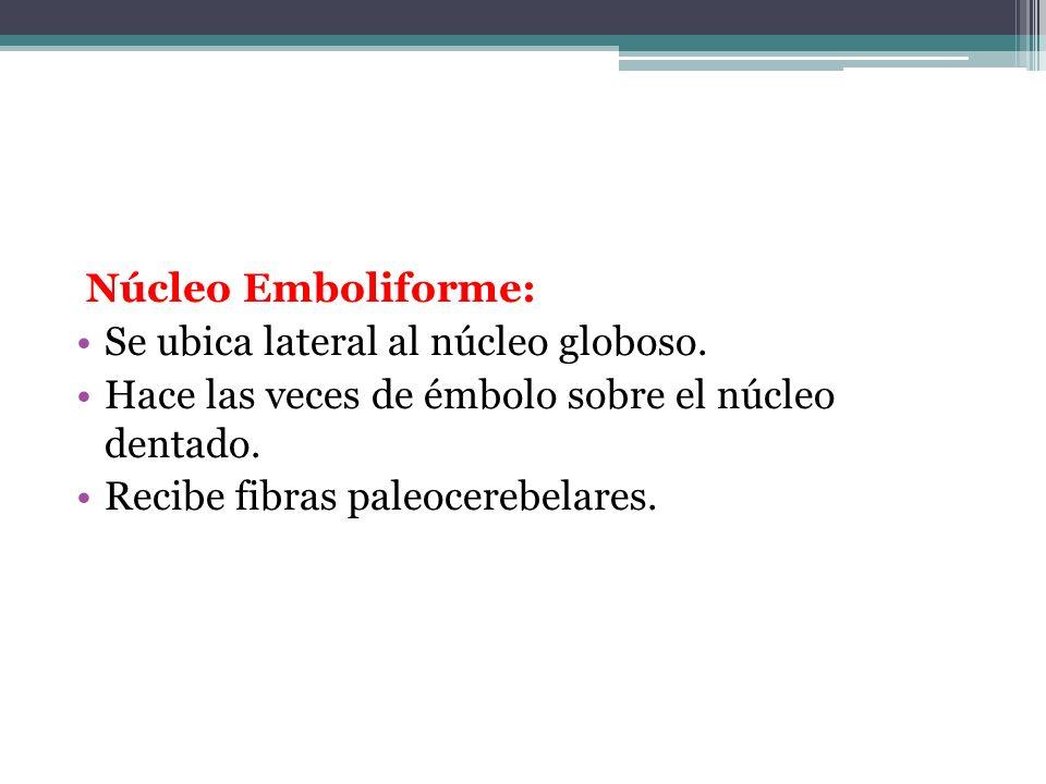 Núcleo Emboliforme: Se ubica lateral al núcleo globoso. Hace las veces de émbolo sobre el núcleo dentado. Recibe fibras paleocerebelares.