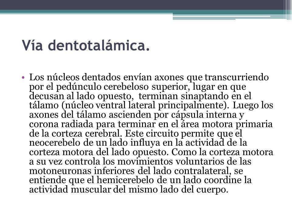 Vía dentotalámica. Los núcleos dentados envían axones que transcurriendo por el pedúnculo cerebeloso superior, lugar en que decusan al lado opuesto, t