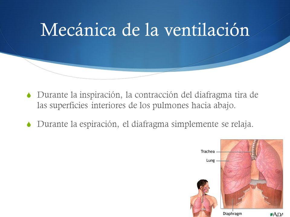 Mecánica de la ventilación Durante la inspiración, la contracción del diafragma tira de las superficies interiores de los pulmones hacia abajo.