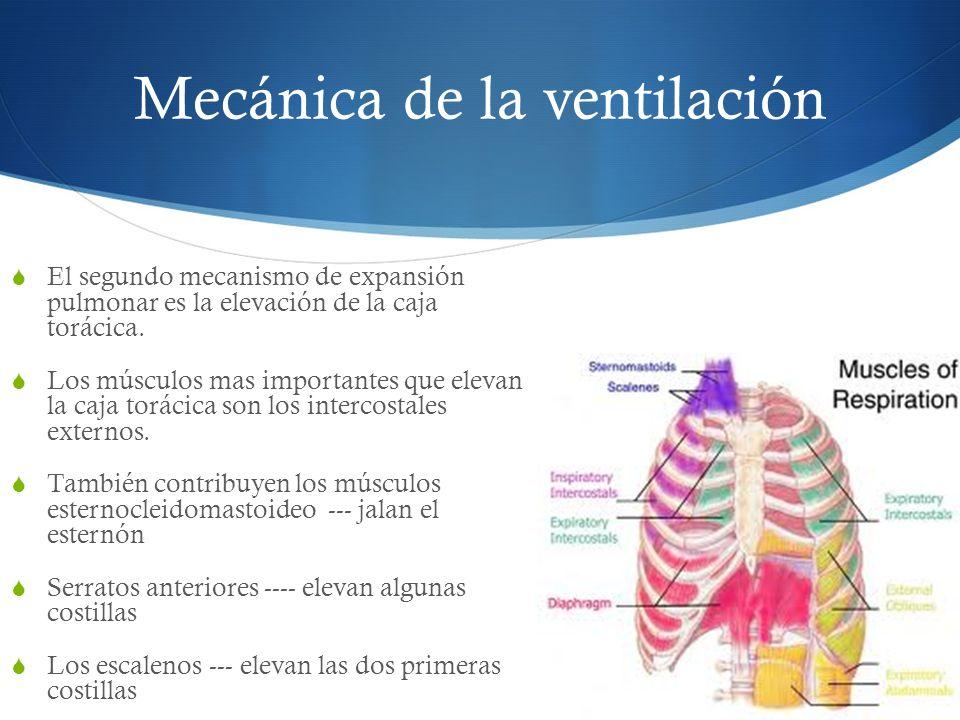 El segundo mecanismo de expansión pulmonar es la elevación de la caja torácica.