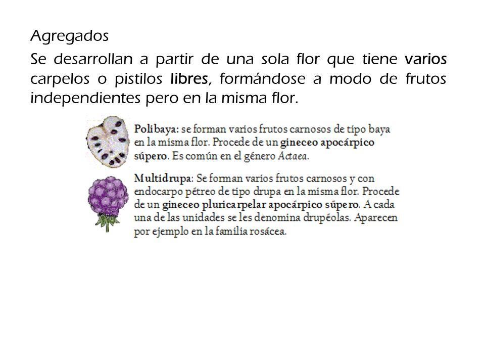 Agregados Se desarrollan a partir de una sola flor que tiene varios carpelos o pistilos libres, formándose a modo de frutos independientes pero en la misma flor.