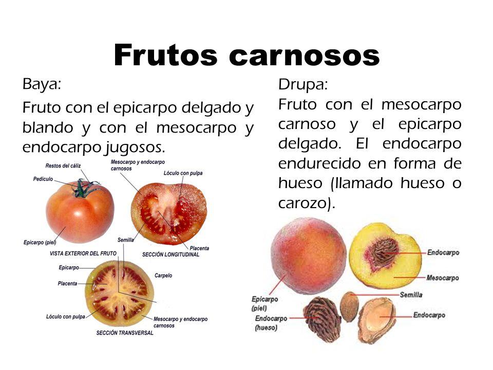 Frutos carnosos Baya: Fruto con el epicarpo delgado y blando y con el mesocarpo y endocarpo jugosos.