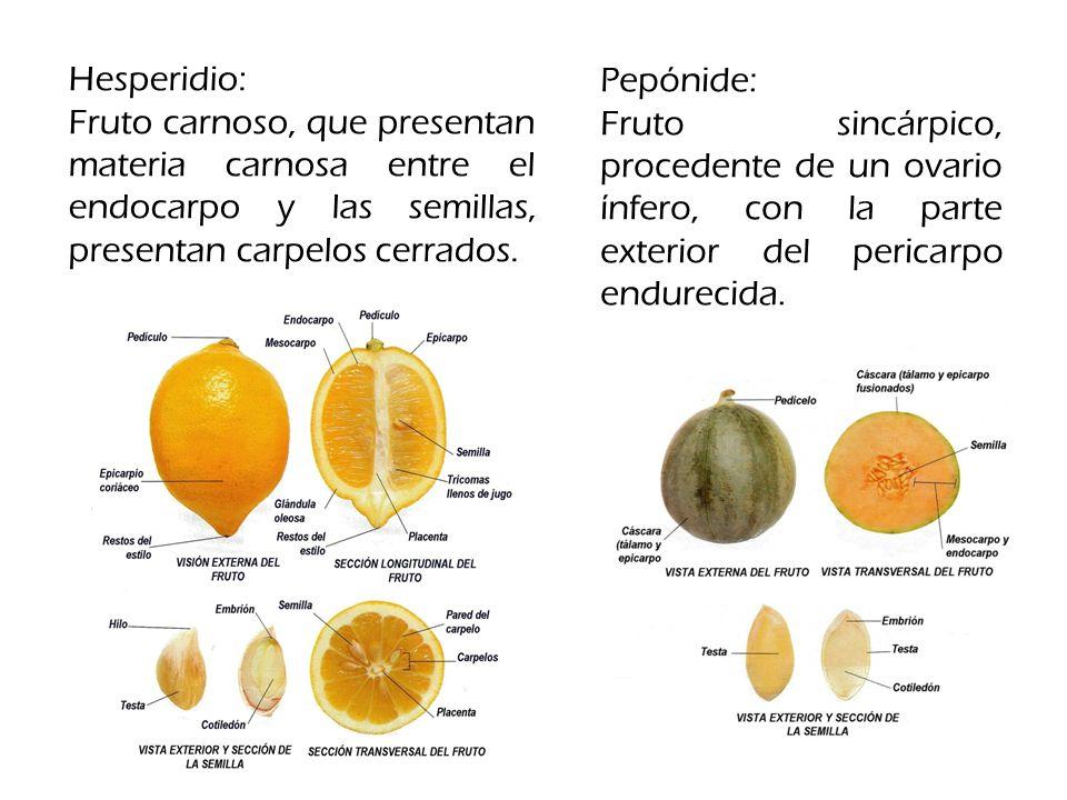 Hesperidio: Fruto carnoso, que presentan materia carnosa entre el endocarpo y las semillas, presentan carpelos cerrados.