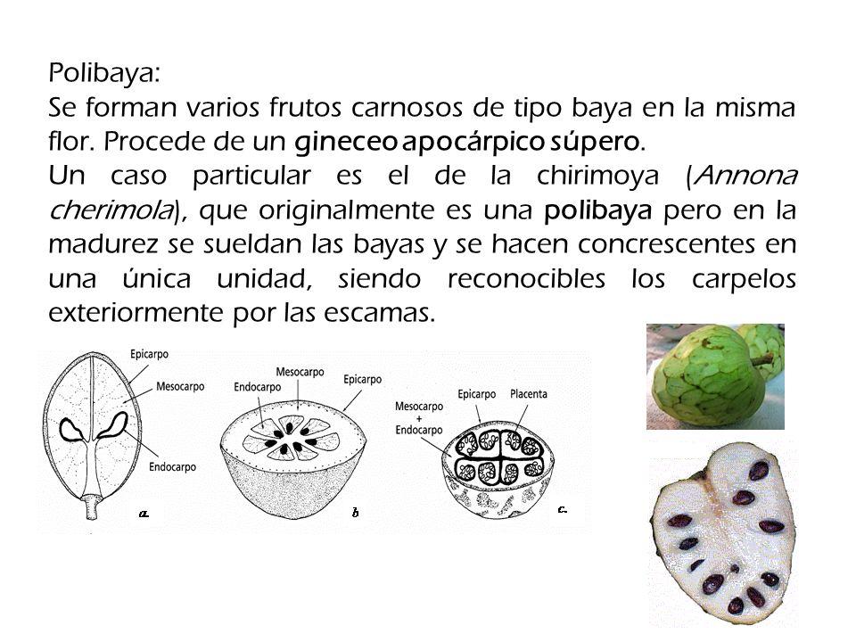 Polibaya: Se forman varios frutos carnosos de tipo baya en la misma flor.