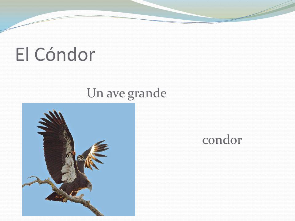 El Cóndor Un ave grande condor