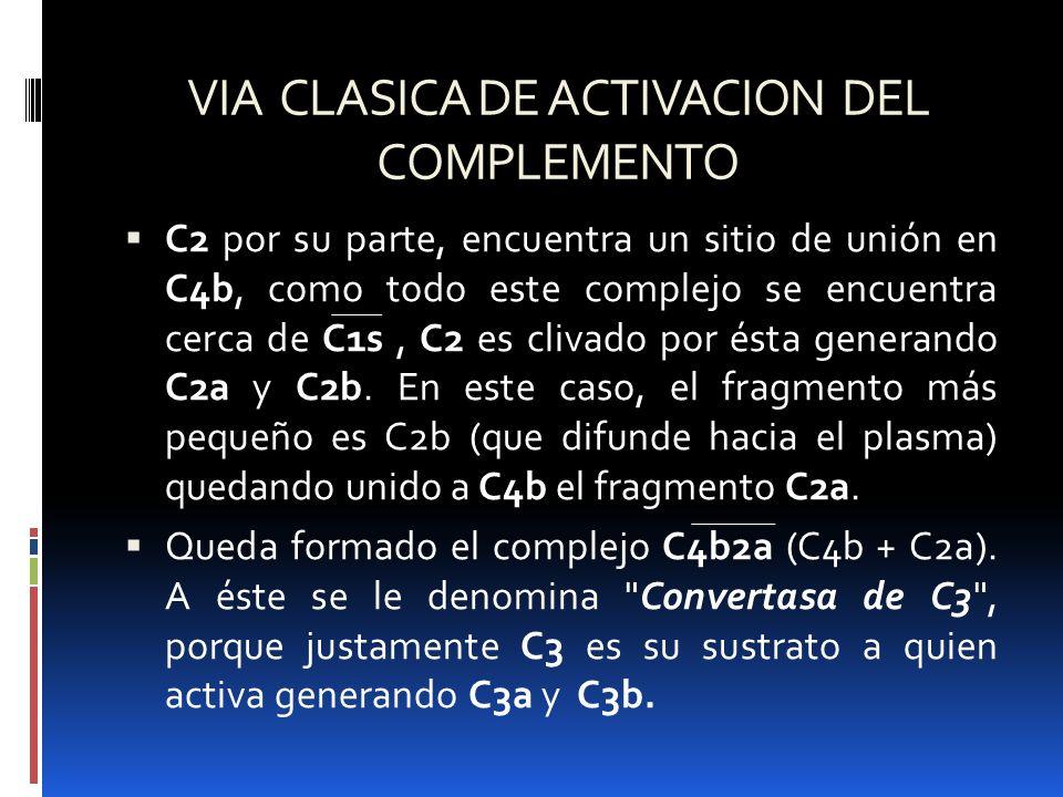 VIA CLASICA DE ACTIVACION DEL COMPLEMENTO C2 por su parte, encuentra un sitio de unión en C4b, como todo este complejo se encuentra cerca de C1s, C2 e