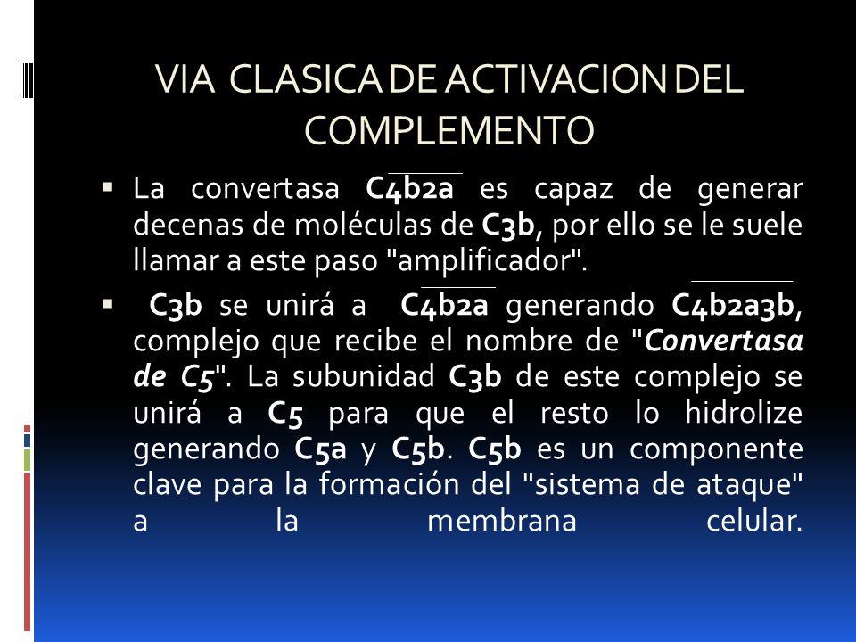 VIA CLASICA DE ACTIVACION DEL COMPLEMENTO La convertasa C4b2a es capaz de generar decenas de moléculas de C3b, por ello se le suele llamar a este paso