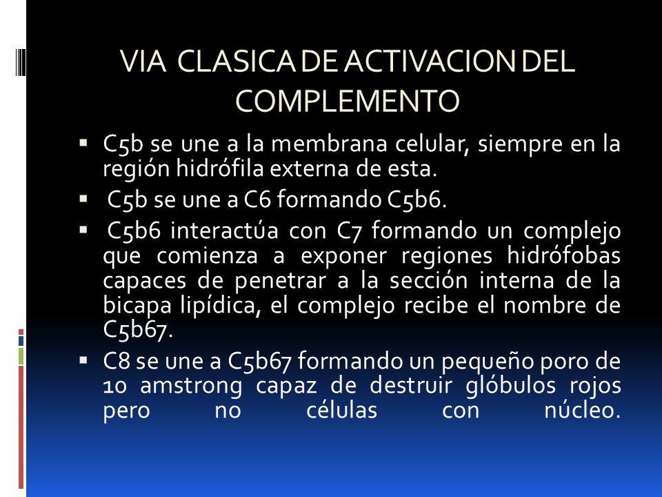 VIA CLASICA DE ACTIVACION DEL COMPLEMENTO C5b se une a la membrana celular, siempre en la región hidrófila externa de esta. C5b se une a C6 formando C