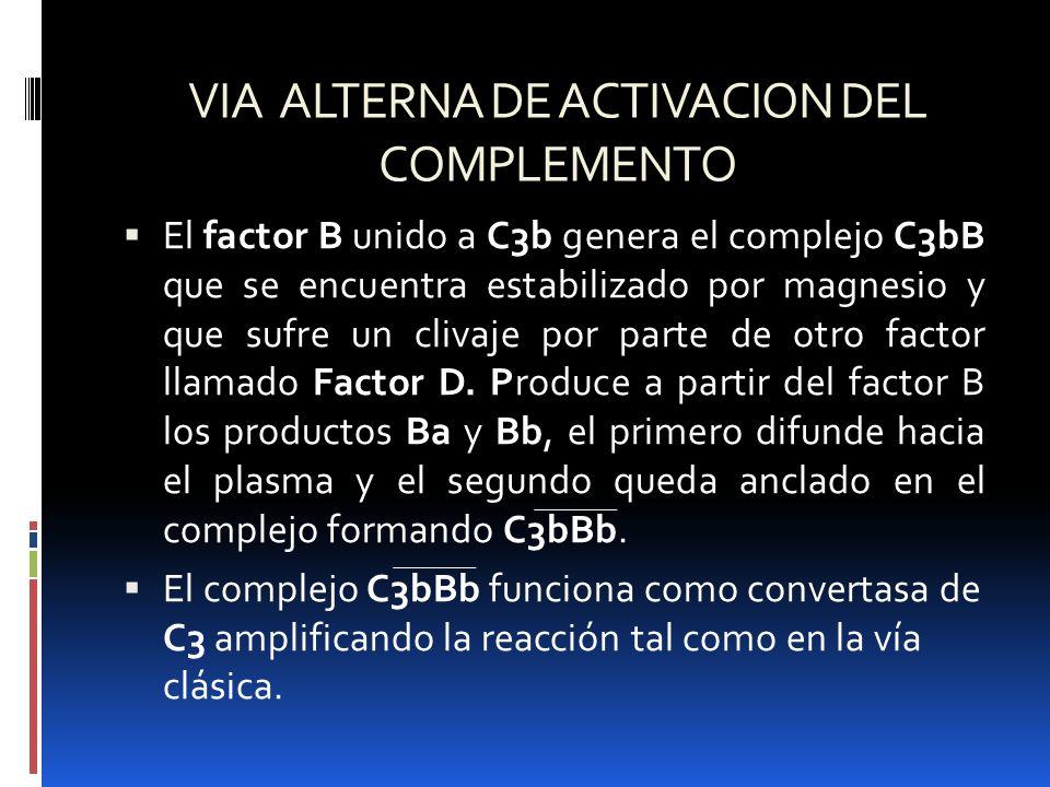 VIA ALTERNA DE ACTIVACION DEL COMPLEMENTO El factor B unido a C3b genera el complejo C3bB que se encuentra estabilizado por magnesio y que sufre un cl