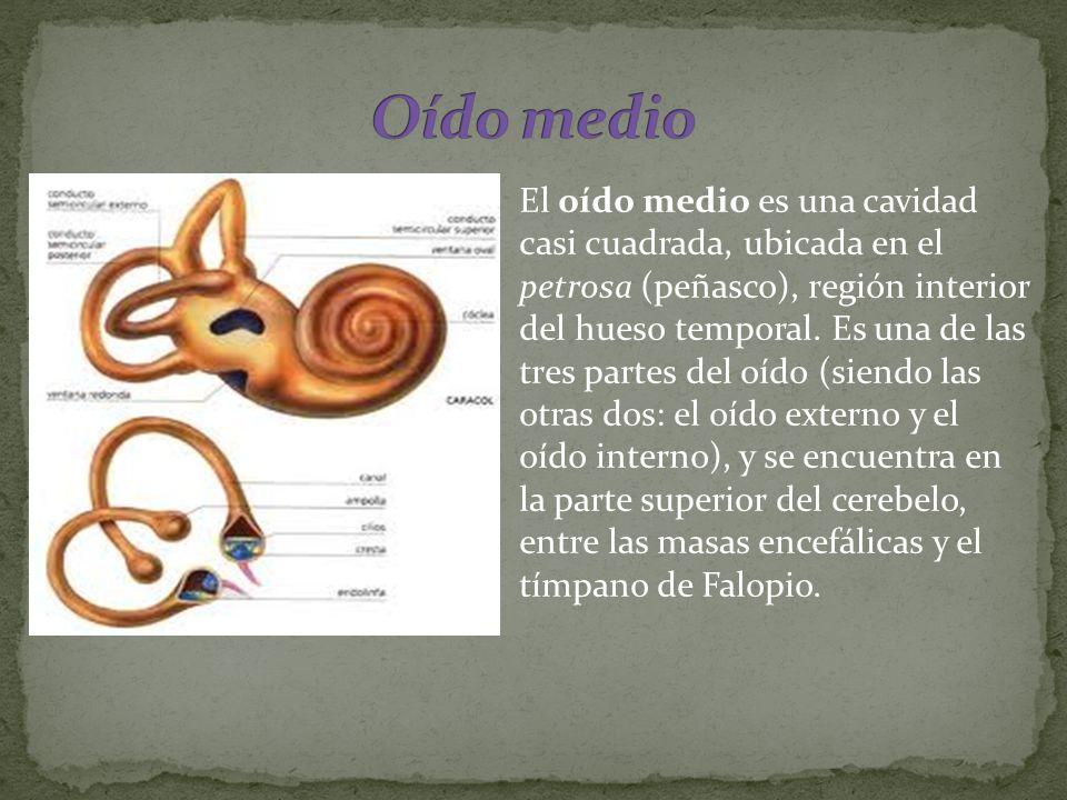 El oído medio es una cavidad casi cuadrada, ubicada en el petrosa (peñasco), región interior del hueso temporal. Es una de las tres partes del oído (s