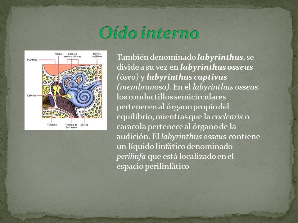 También denominado labyrinthus, se divide a su vez en labyrinthus osseus (óseo) y labyrinthus captivus (membranoso). En el labyrinthus osseus los cond