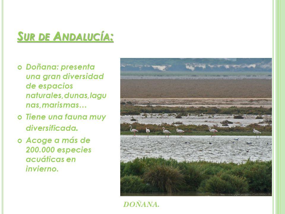 S UR DE A NDALUCÍA : Doñana: presenta una gran diversidad de espacios naturales,dunas,lagu nas,marismas… Tiene una fauna muy diversificada. Acoge a má