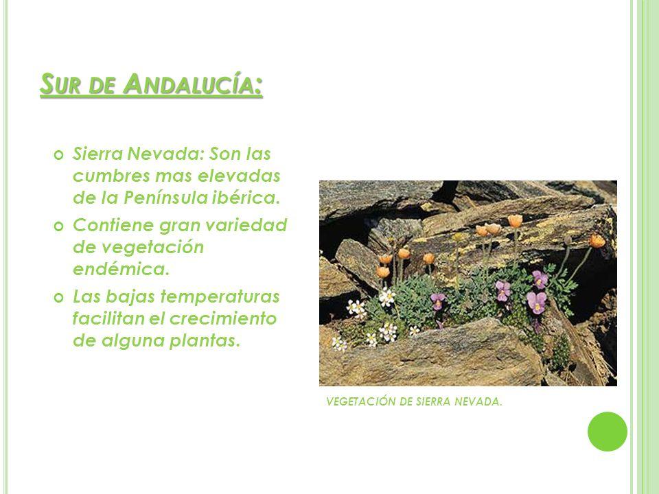 S UR DE A NDALUCÍA : Sierra Nevada: Son las cumbres mas elevadas de la Península ibérica. Contiene gran variedad de vegetación endémica. Las bajas tem