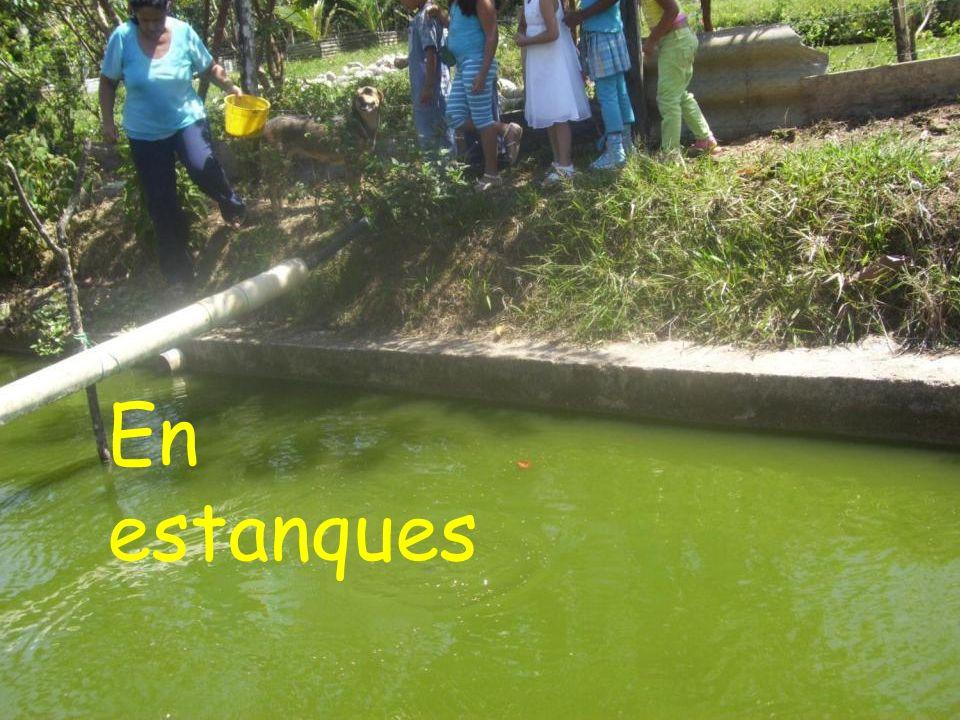 En estanques
