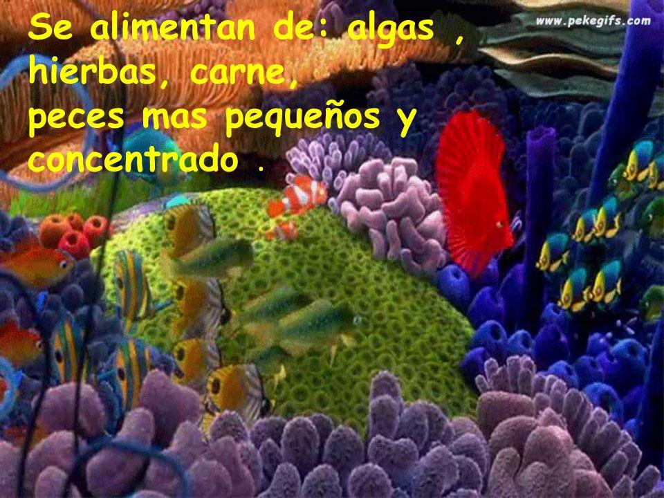 Se alimentan de: algas, hierbas, carne, peces mas pequeños y concentrado.