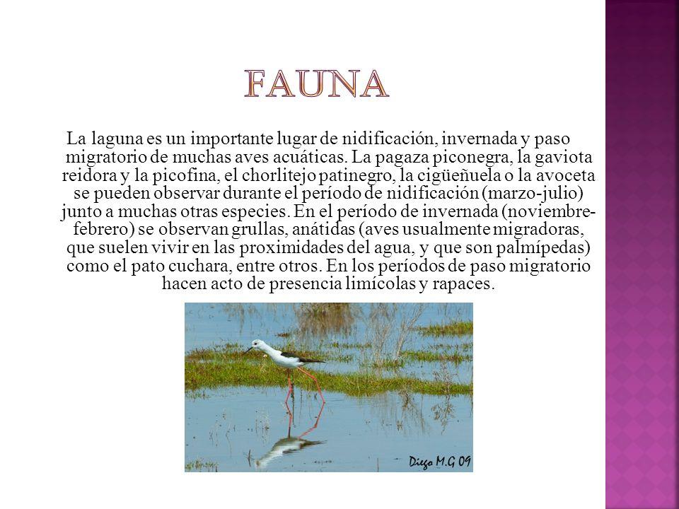 La laguna es un importante lugar de nidificación, invernada y paso migratorio de muchas aves acuáticas.