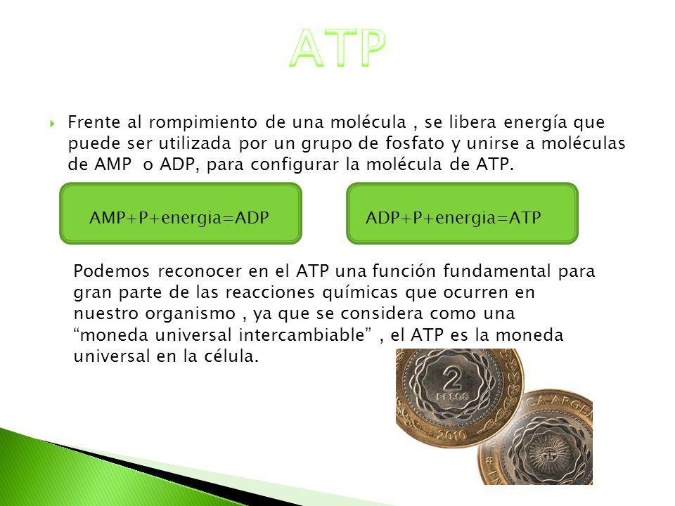 Frente al rompimiento de una molécula, se libera energía que puede ser utilizada por un grupo de fosfato y unirse a moléculas de AMP o ADP, para confi