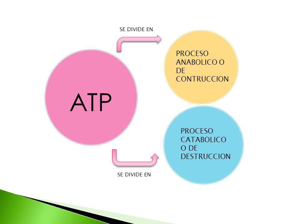 ATP SE DIVIDE EN PROCESO ANABOLICO O DE CONTRUCCION PROCESO CATABOLICO O DE DESTRUCCION