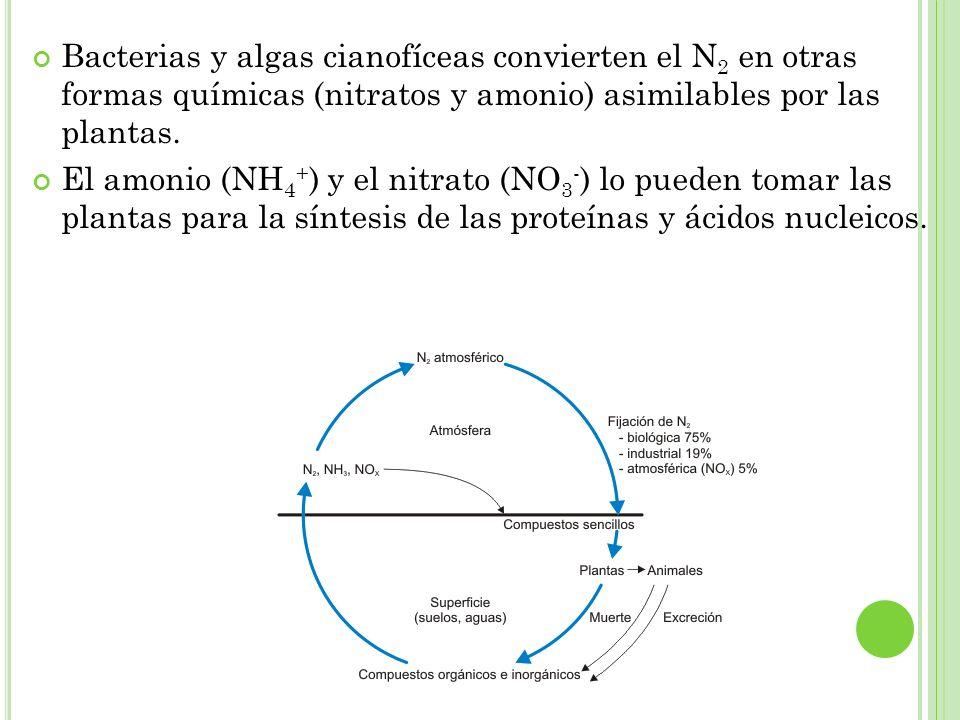 Bacterias y algas cianofíceas convierten el N 2 en otras formas químicas (nitratos y amonio) asimilables por las plantas. El amonio (NH 4 + ) y el nit