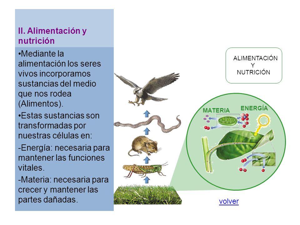 ALIMENTACIÓN Y NUTRICIÓN ENERGÍA MATERIA II. Alimentación y nutrición Mediante la alimentación los seres vivos incorporamos sustancias del medio que n