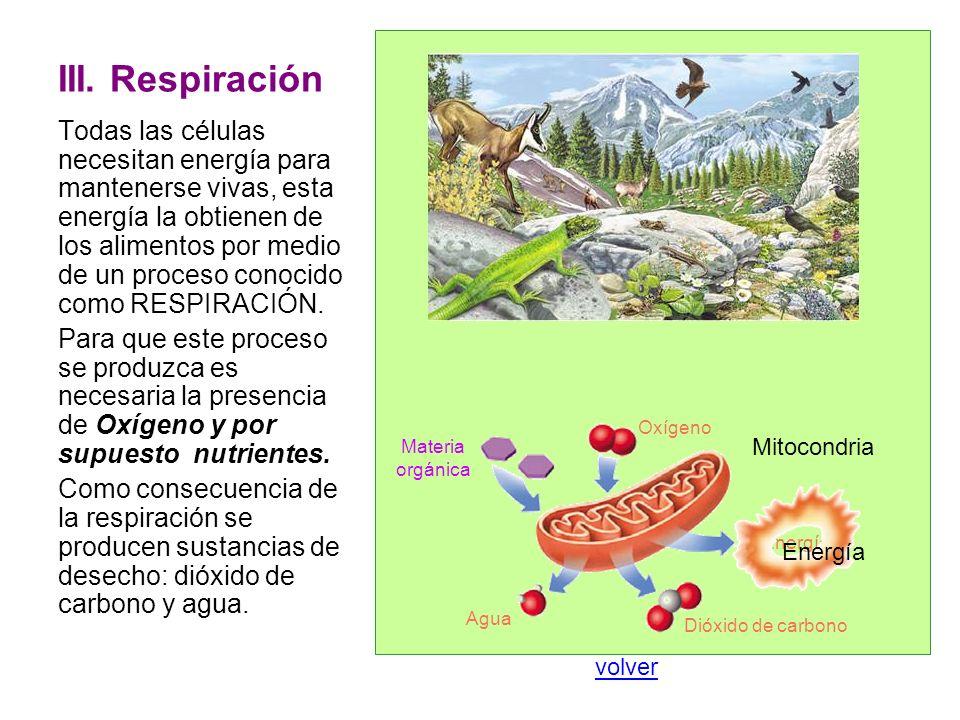 III. Respiración Todas las células necesitan energía para mantenerse vivas, esta energía la obtienen de los alimentos por medio de un proceso conocido