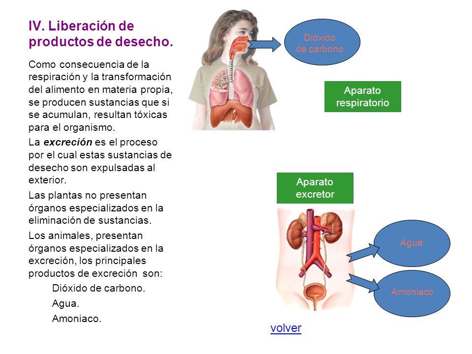 IV. Liberación de productos de desecho. Como consecuencia de la respiración y la transformación del alimento en materia propia, se producen sustancias