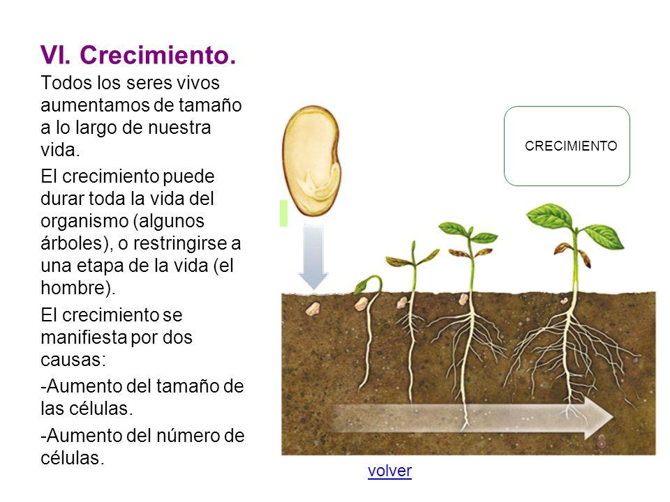 VI. Crecimiento. Todos los seres vivos aumentamos de tamaño a lo largo de nuestra vida. El crecimiento puede durar toda la vida del organismo (algunos
