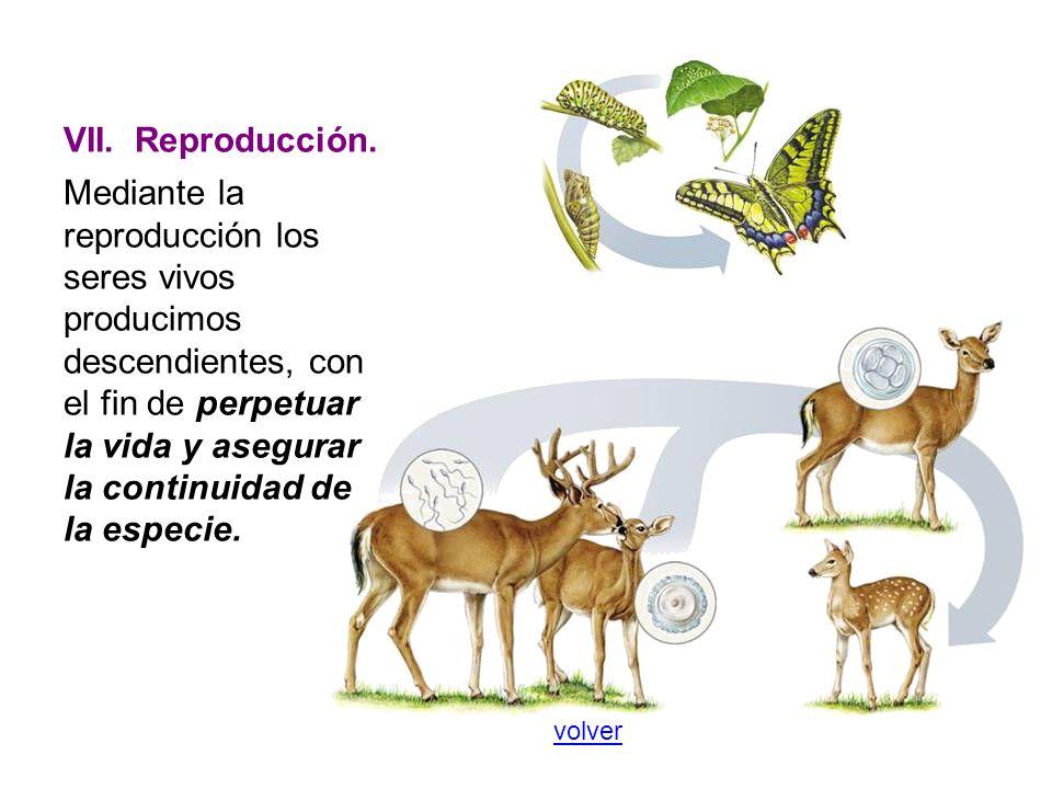 VII. Reproducción. Mediante la reproducción los seres vivos producimos descendientes, con el fin de perpetuar la vida y asegurar la continuidad de la