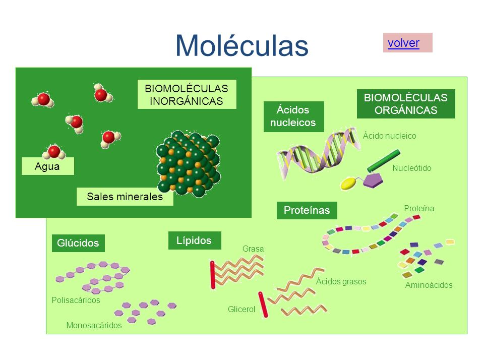 Agua Sales minerales BIOMOLÉCULAS INORGÁNICAS BIOMOLÉCULAS ORGÁNICAS Glúcidos Lípidos Proteínas Ácidos nucleicos Polisacáridos Monosacáridos Grasa Gli